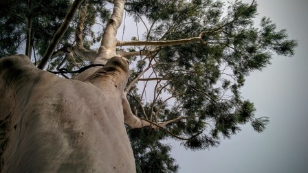 This lemon-scented eucalyptus (gum tree) in Petah Tikva is extremely rare in Israel. Photo by viva sarah press