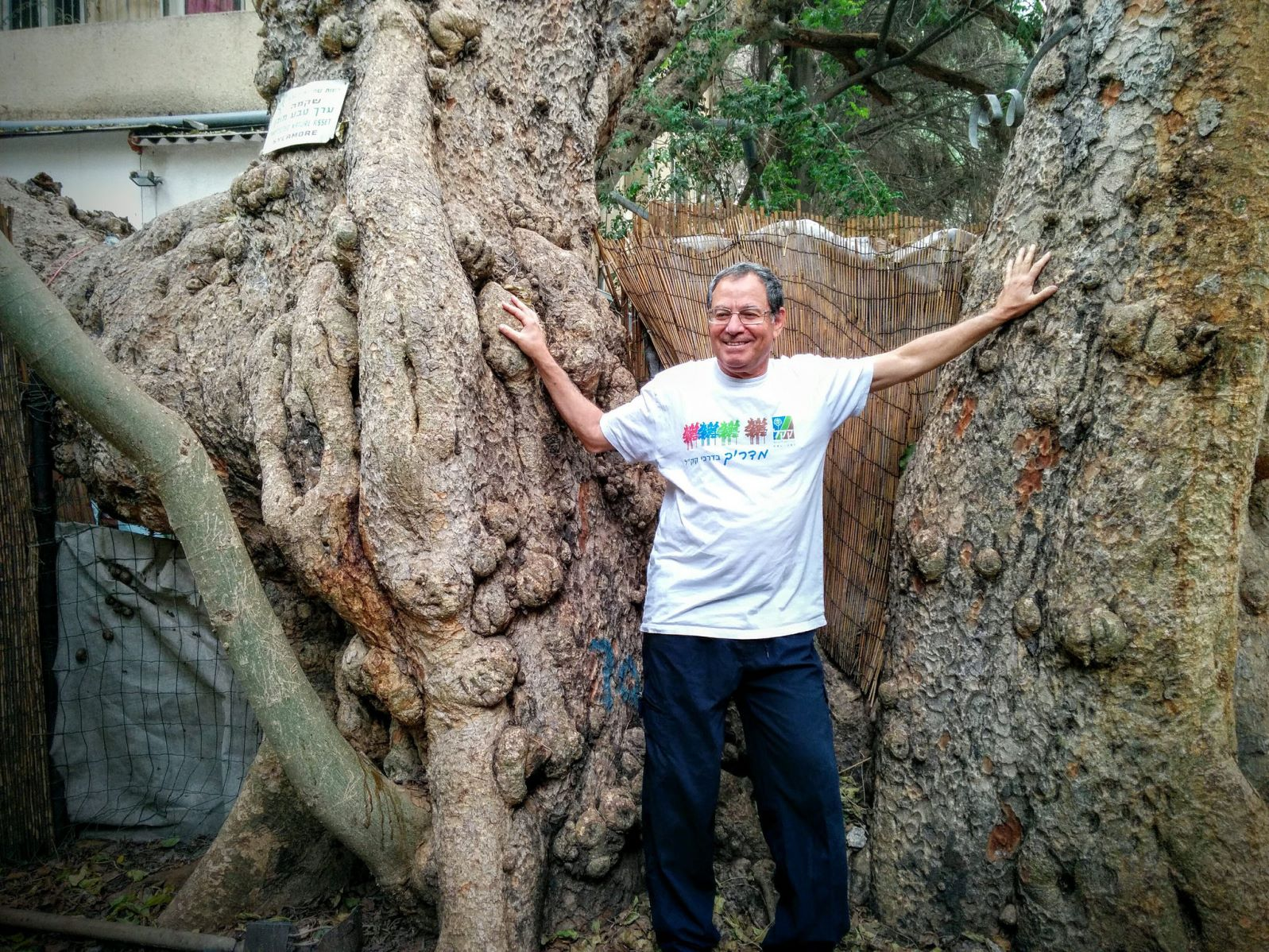 Tree surveyor Yaacov Shkolnik showing the sycamore fig tree that has been in the headlines. Photo by Viva Sarah Press