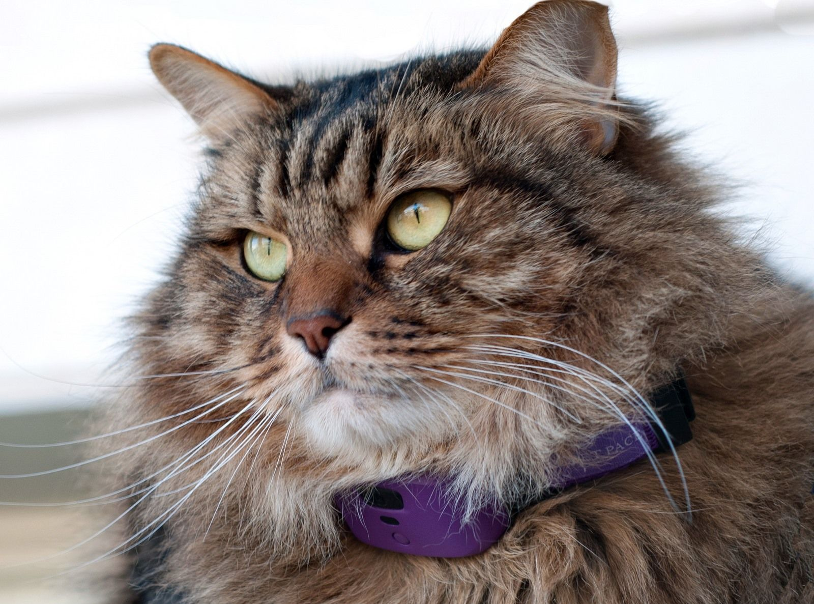 The PetPace collar monitors kitty's vitals and alerts to abnormalities. Photo: courtesy