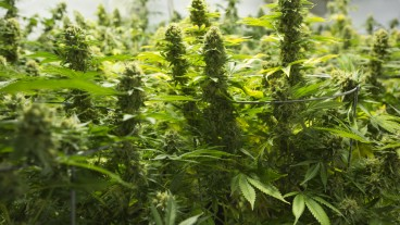 Israel is on the rise as a medical cannabis superpower. Photo via www.shutterstock.com