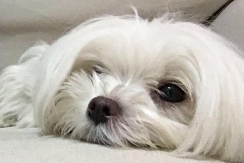 Levinbaum's dog Krembo, named for the famed Israeli treat. Photo: courtesy
