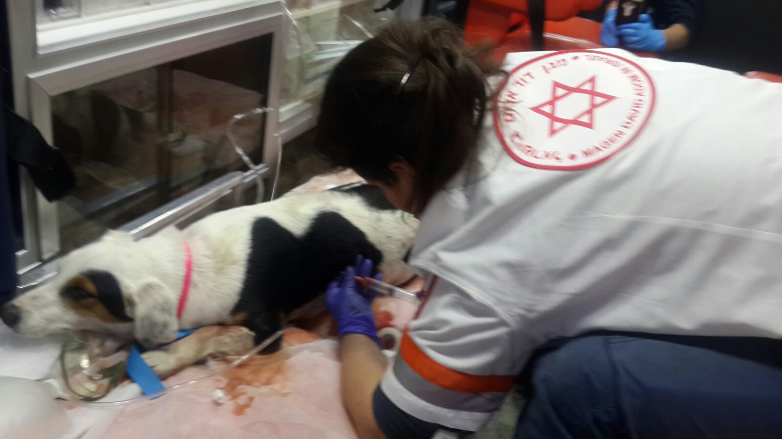 Paramedic Liat Mizrahi draining air from the injured dog's chest. Photo courtesy of MDA Spokesman's Office
