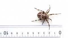 A garden spider will only scare those afraid of spiders. Photo by Shutterstock.com