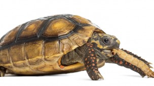 Slow Food: Paleolithic humans ate roasted tortoises some 400,000 years ago. Photo by Shutterstock.com