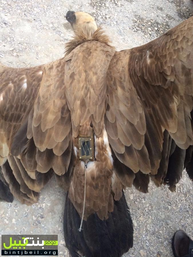 The transmitter attached to the bird set off suspicions. Photo via bintjbeil.org