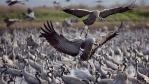 Cranes at Lake Hula. Photo by Ilan Ramati/Flash90