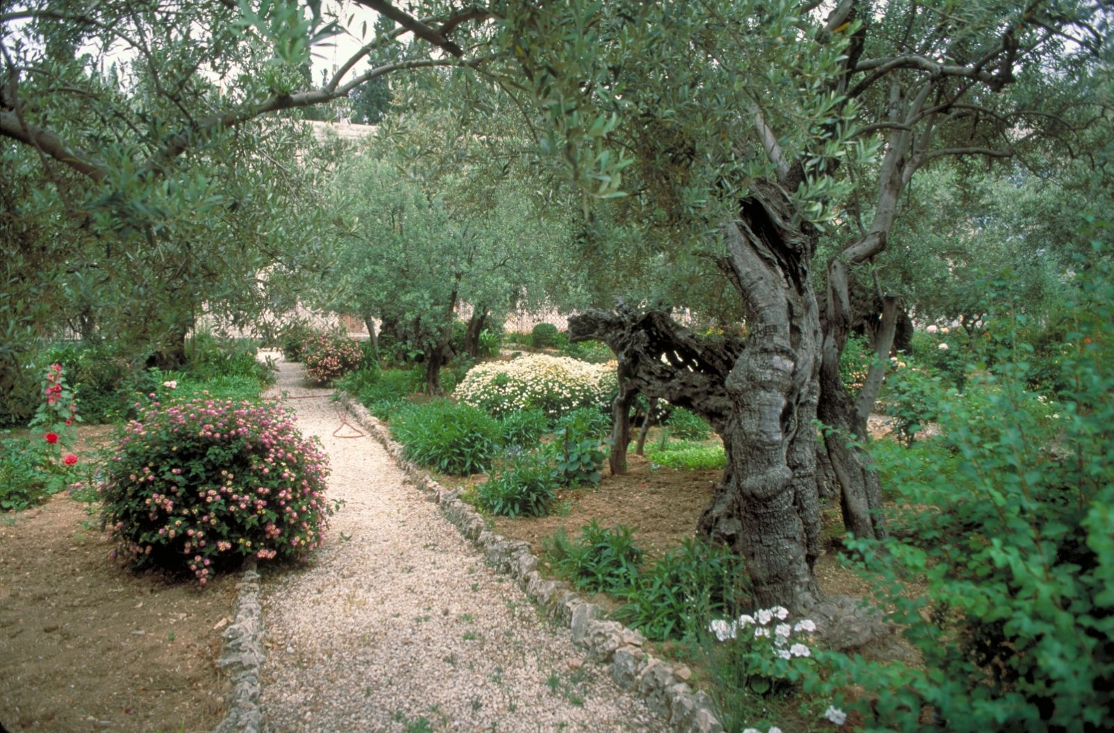 Ancient olive trees in the Garden of Gethsemane. Photo courtesy of Israel Tourism Ministry