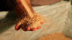 Israeli producers use 50,000 tons of sesame seeds every year. Photo courtesy of Prince Tahina