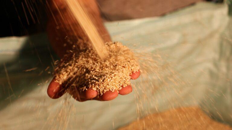Israeli producers use 50,000 tons of sesame seeds every year. Photo courtesy of Prince Tahina