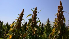 One of Equinom's pre-commercial quinoa varieties, which has high yield and resilience in high temperatures. Photo: courtesy