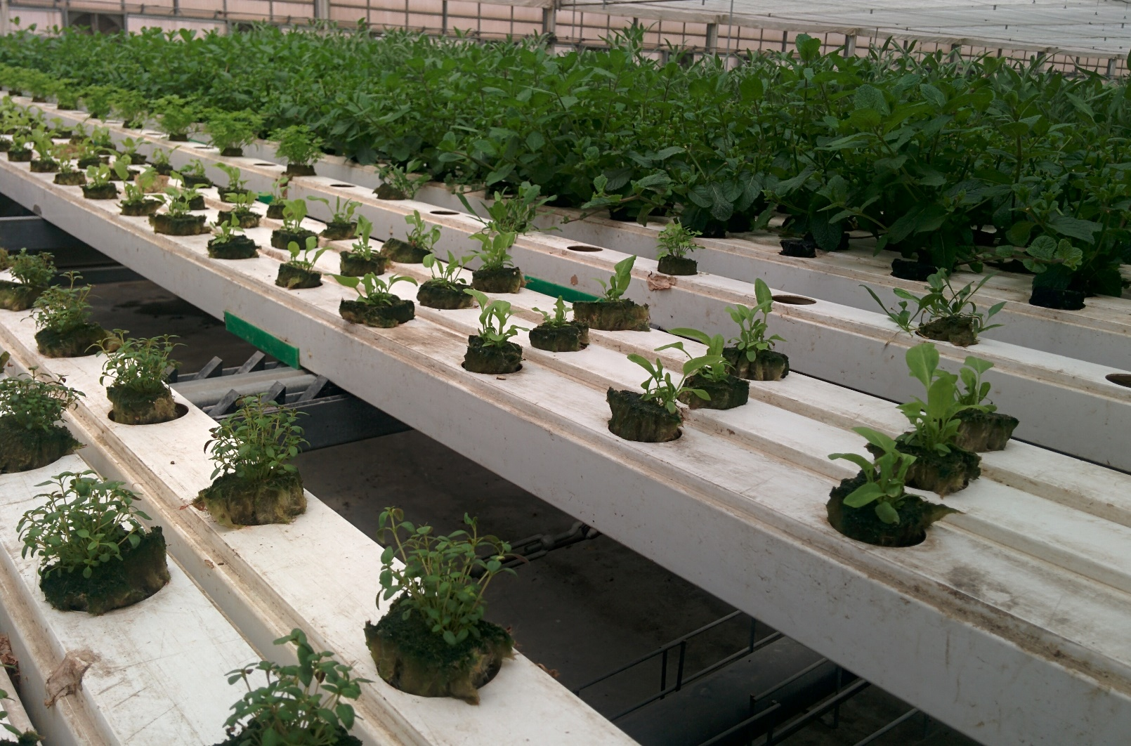 Aleinu's greens are raised in a unique system of troughs that automatically move farther apart as the leaves grow. Photo by Abigail Klein Leichman