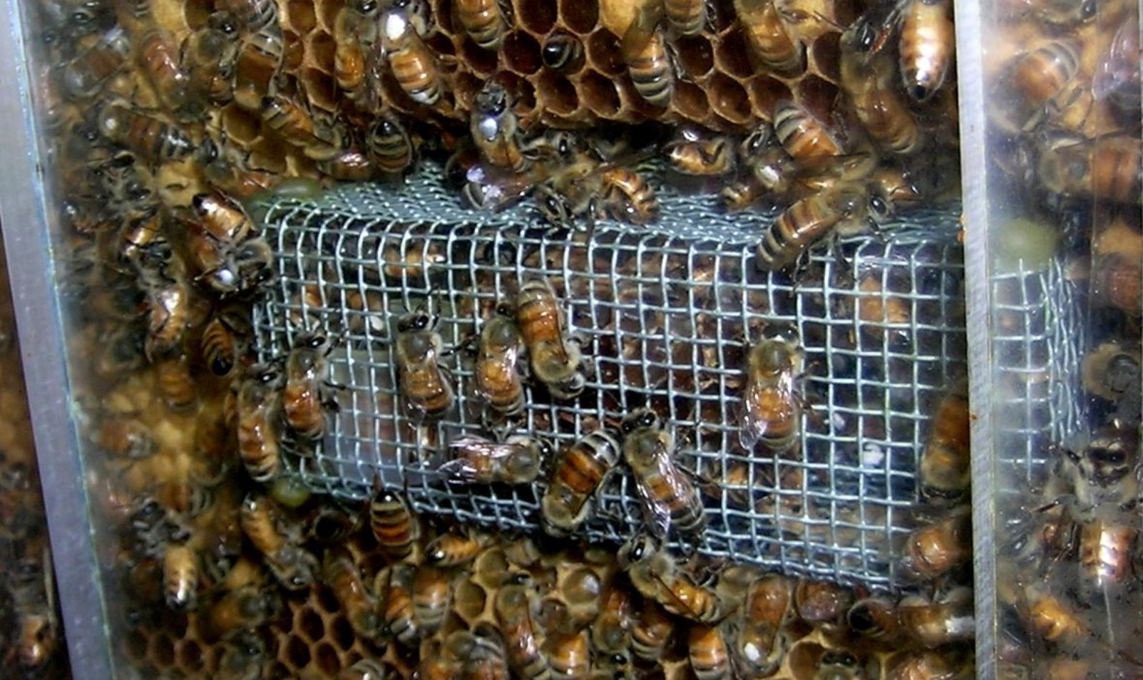 Hebrew University researchers performed a set of large scale experiments with more than 1,000 honeybees in cages and observation hives. Photo by Muki Nagari