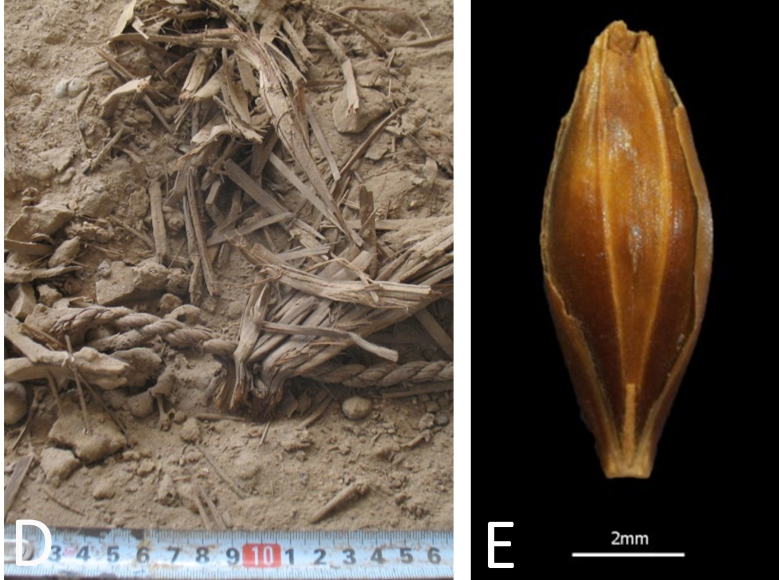 Left, well-preserved plant remains found in Yoram Cave; right, a desiccated barley grain retrieved from the site. Photos by Uri Davidovich
