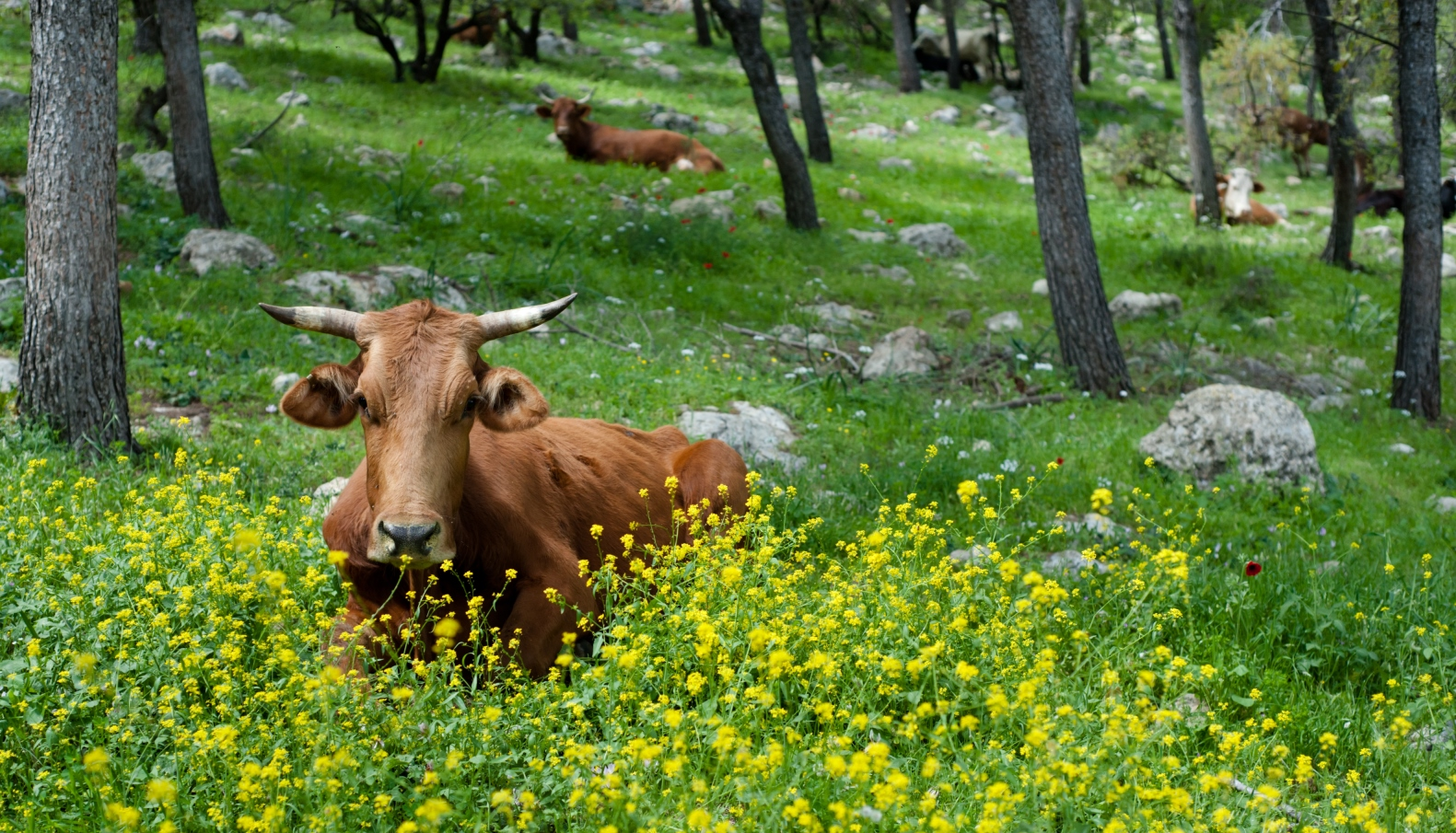Cows grazing on Mount Tabor. Photo by Ryan Rodrick Beiler/Shutterstock.com