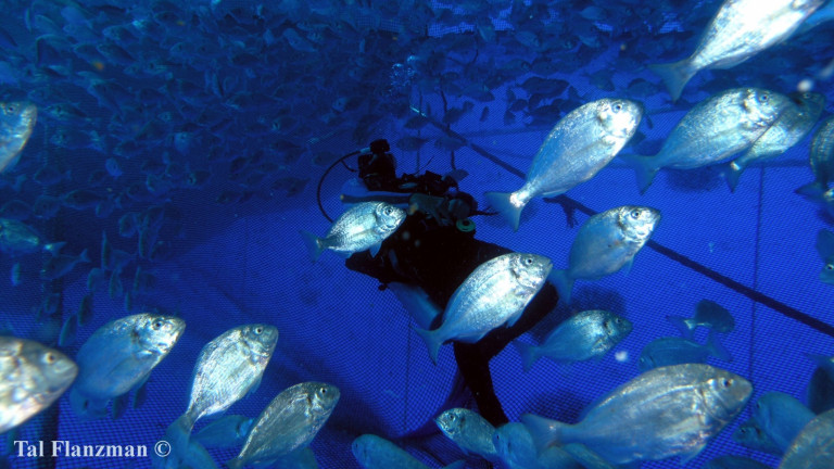 Fish are raised in flexible cages in the sea using the Subflex system. Photo by Tal Flanzman