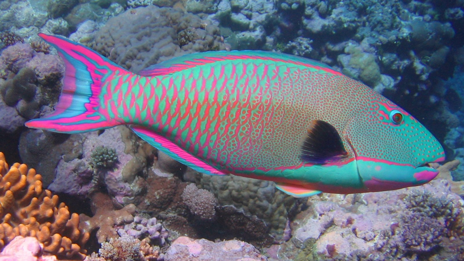 The parrotfish inspired Chana Weinberg's initial designs. Photo: courtesy