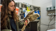 A long-legged buzzard received a blood transfusion at the Israeli Wildlife Hospital. Photo by Ofer Brill