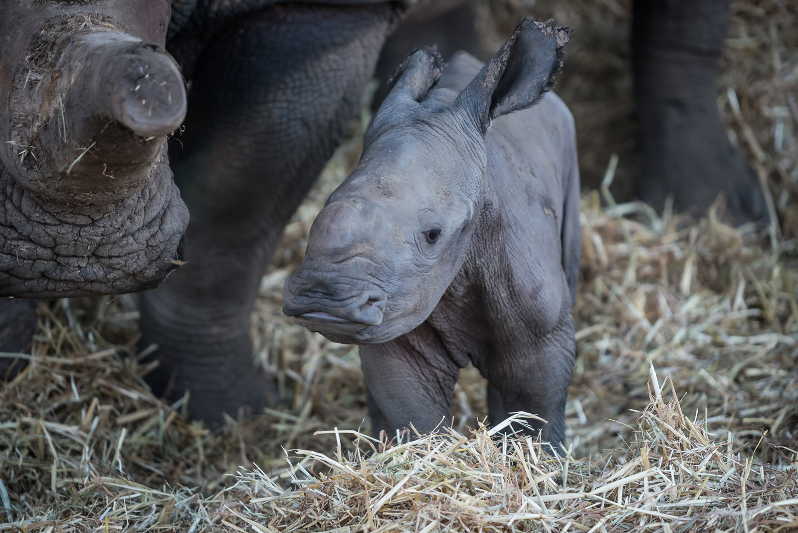 Rare white rhino calf born at Zoological Center of Tel Aviv-Ramat Gan, August 2016. Photo by Shai Ben Naftali