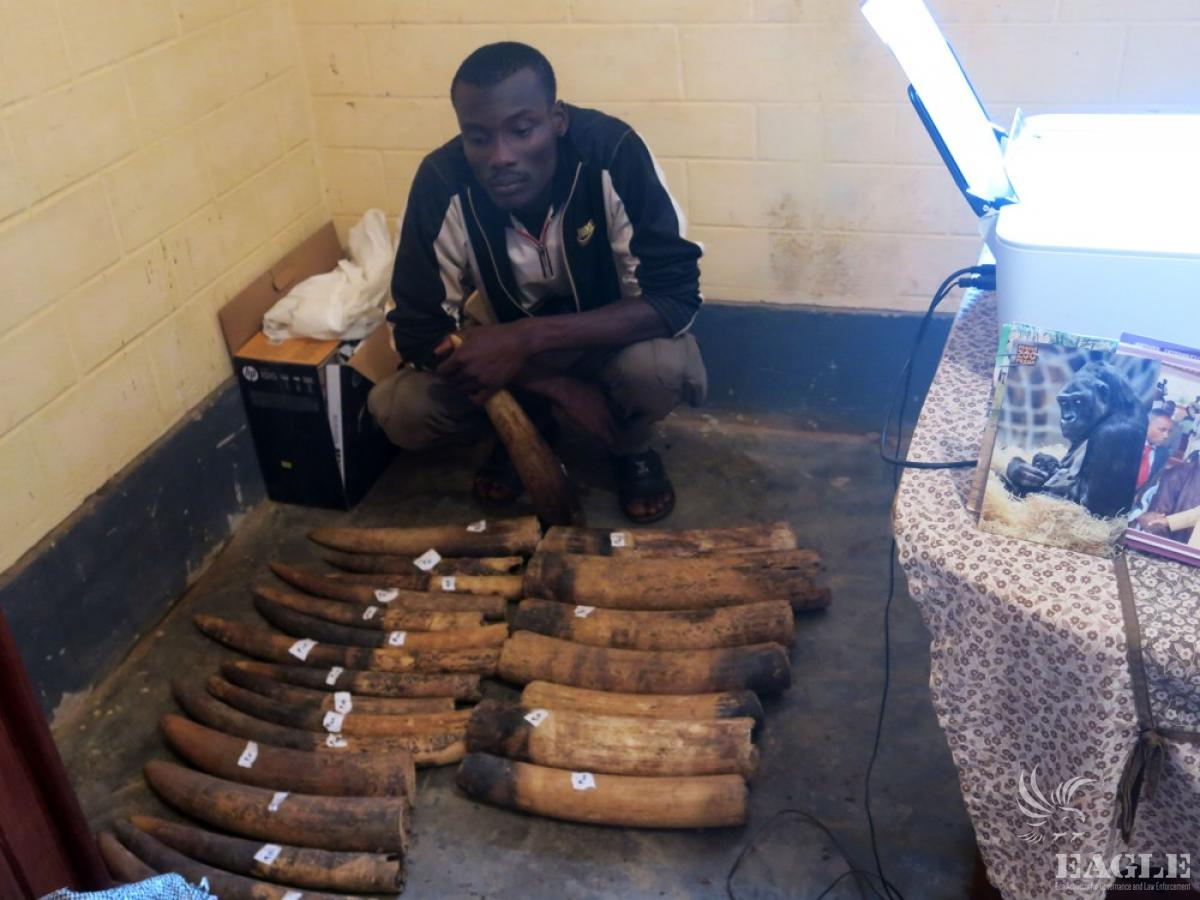 A significant ivory trafficker was arrested in Cameroon with 18 raw elephant tusks in January 2015. Photo courtesy of EAGLE Network