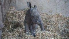 The Zoological Center of Tel Aviv-Ramat Gan welcomes rhino No.28. Photo by Shai Ben Naftali
