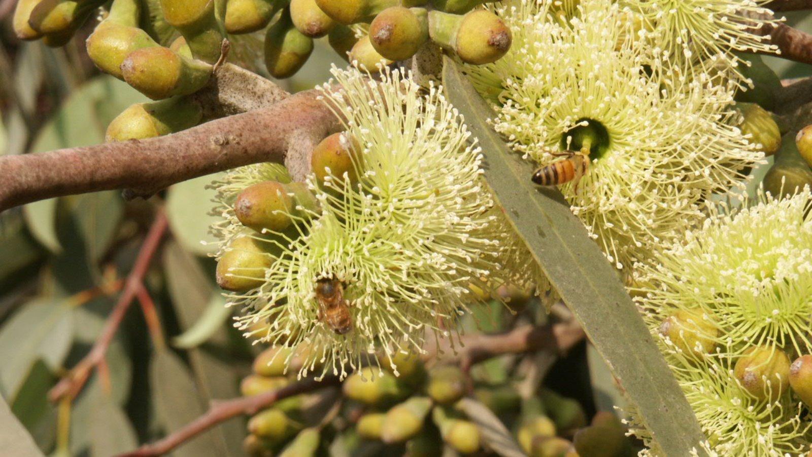 A honeybee feeding on a Eucalyptus Stricklandii (Strickland's Gum) tree. Photo by Gilat Nursery Director Pablo Chercasky/KKL-JNF
