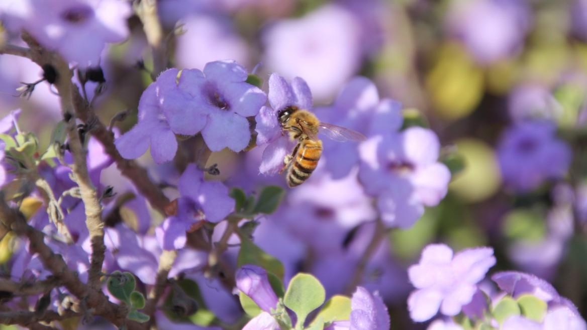 A honeybee feeding on a high-pollen Leucophyllum (San Jose) shrub. Photo by Gilat Nursery Director Pablo Chercasky/KKL-JNF
