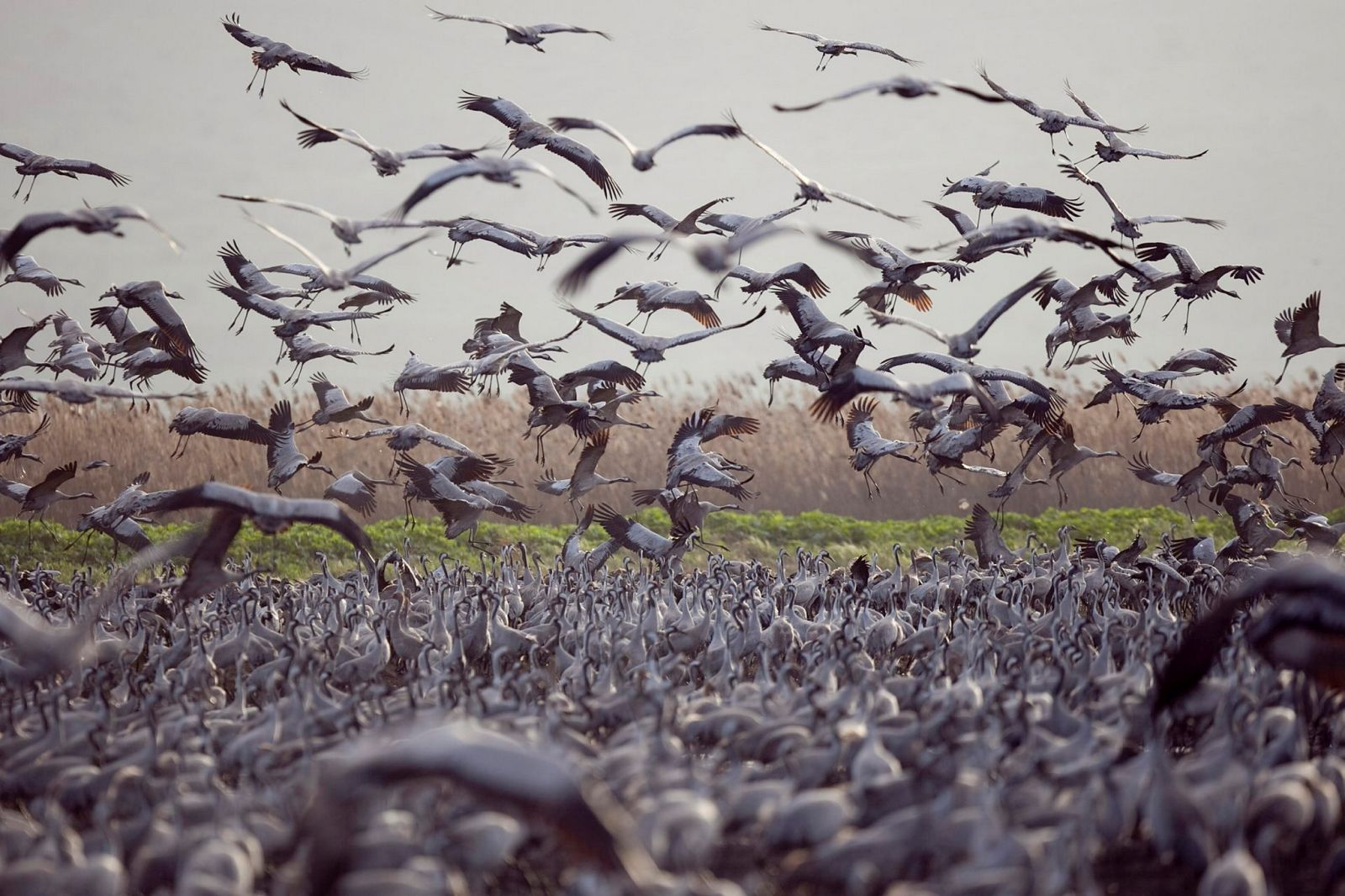 Cranes at the Hula Valley. Photo by Ilan Ramati/Flash90