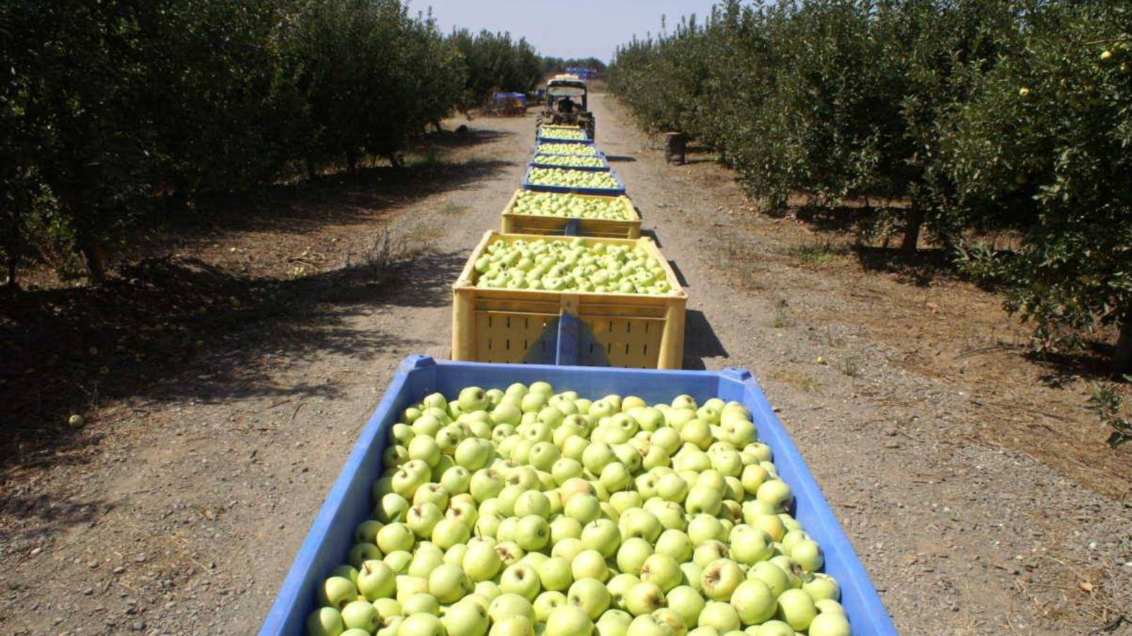 Harvesting apples in the Golan Heights. Photo via Beresheet Facebook page