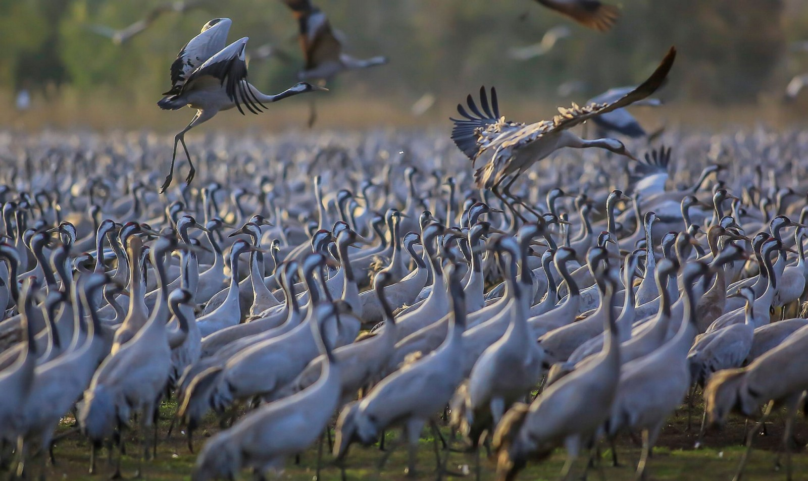 Thousands of cranes at Hula park. Photo by FLASH90