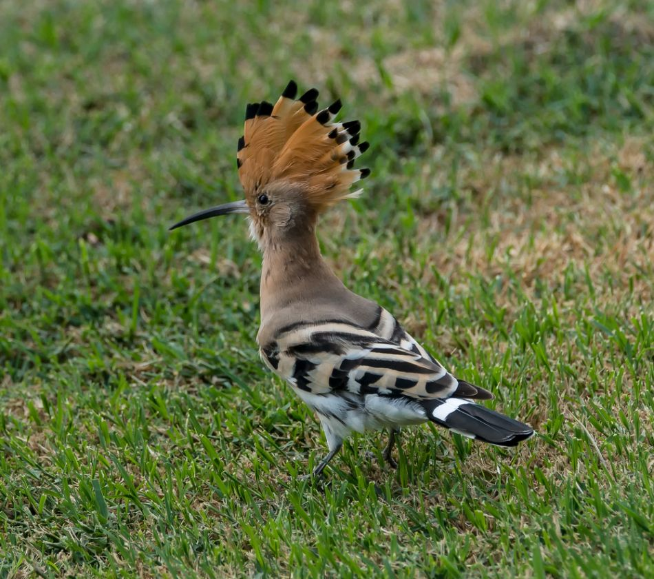 Image of hoopoe via Shutterstock.com