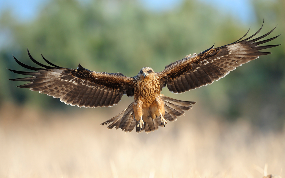 A black kite landing in Israel. Photo via Shutterstock.com