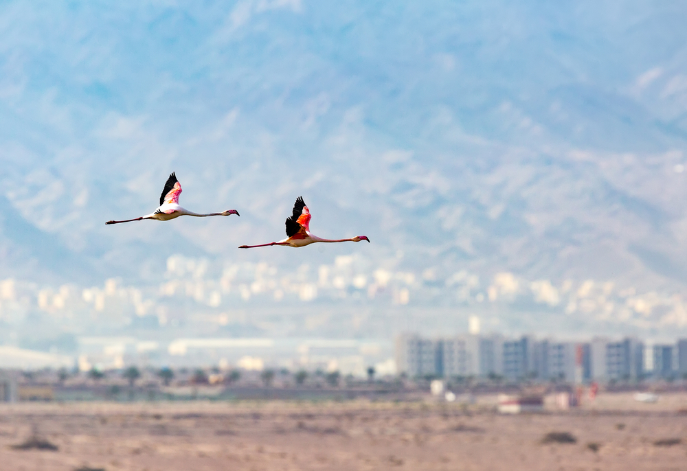 Flamingos in flight over the salt pans of Eilat. Photo by BorisVetshev/Shutterstock.com