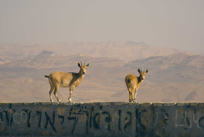 """Nubian Ibex"" by Elad Matityahu"