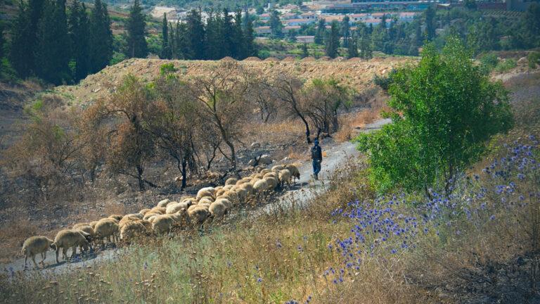 """Sheep in Abu Gosh"" by Elad Matityahu"