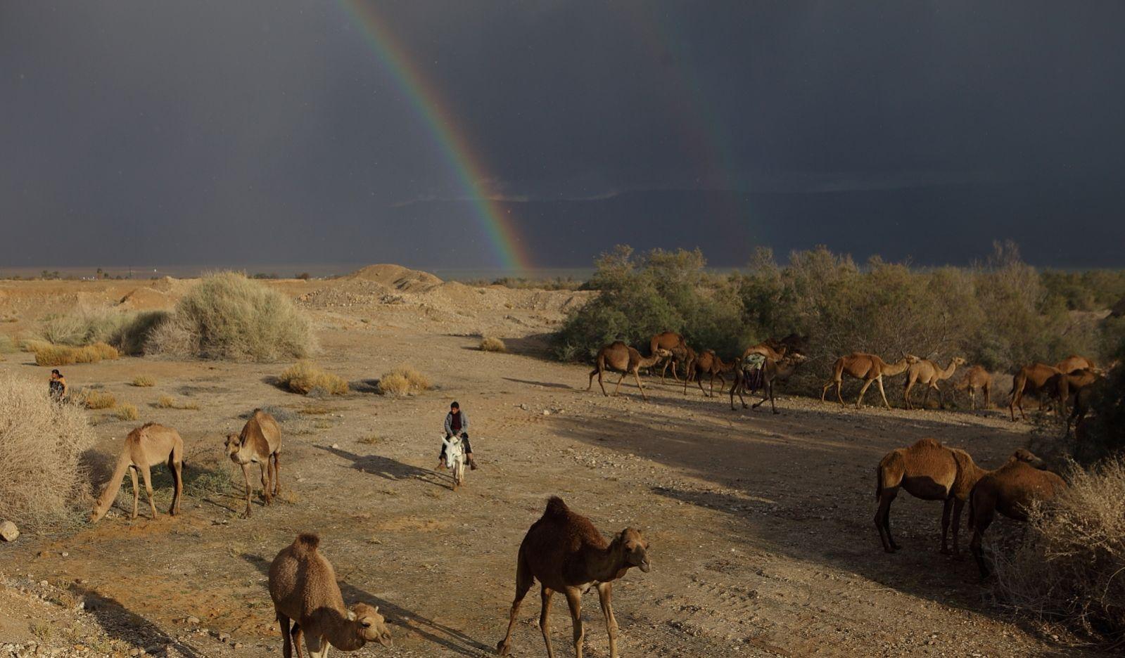 Camels wander near the Dead Sea under a rainbow sky. Photo by Yaakov Naumi/FLASH90