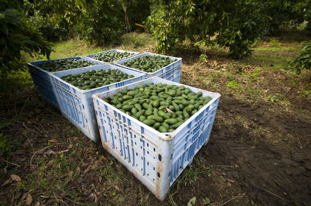 Israeli farmers grow many different species of avocado, most of it for export. Photo via Shutterstock.com