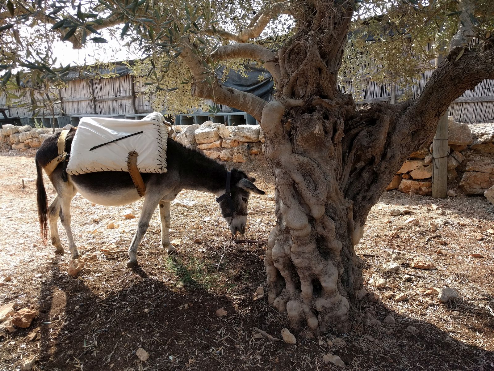 A resident donkey at Kfar Kedem. Photo by Viva Sarah Press