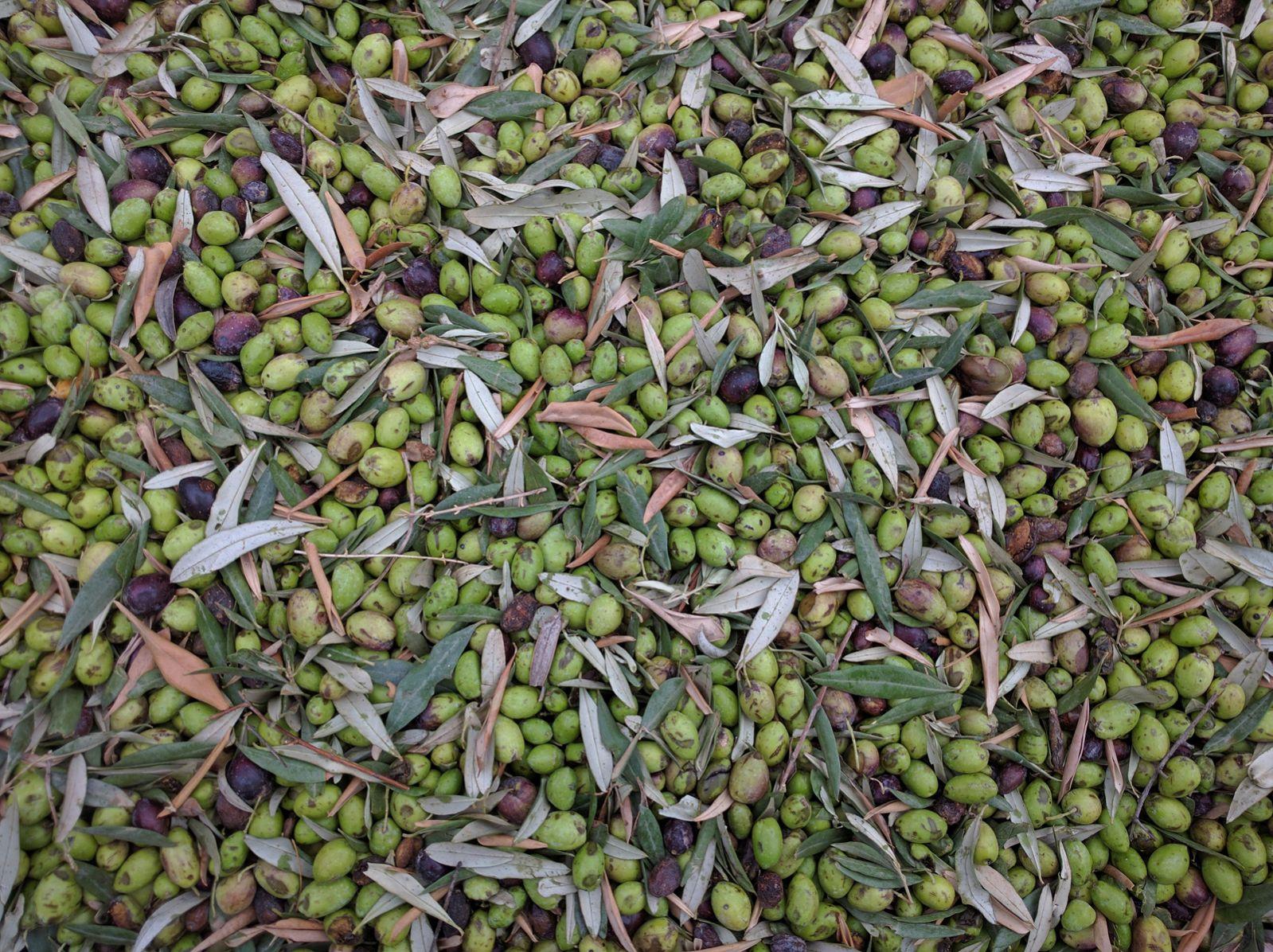 Freshly picked Galilean olives. Photo by Viva Sarah Press