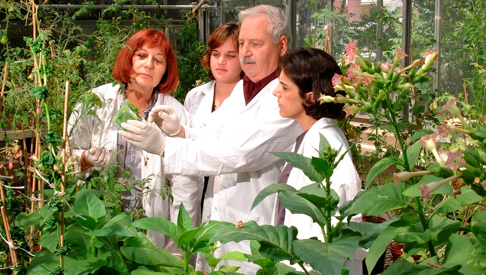 A lucky discovery in the Israeli laboratory of Technion Prof. Emeritus Shimon Gepstein led to a revolutionary advance in growing food crops with higher yields and resistance to drought and other stresses. Photo: courtesy