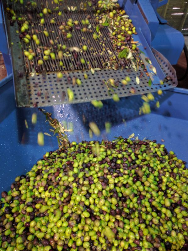 Sorting olives after harvest. Photo by Viva Sarah Press