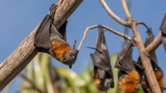 Fruit bats hanging from a branch. Photo via Shutterstock