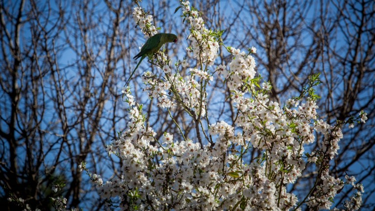 A parrot sits on an almond tree blooming in Jerusalem on February 17, 2016. Photo by Nati Shohat/FLASH90