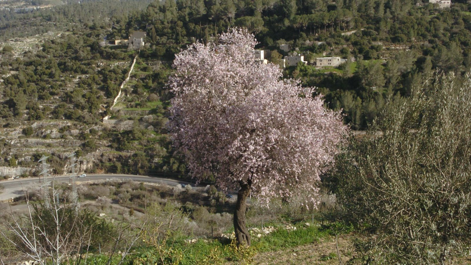 Blooming almond trees in the Elah Valley. Photo by Nati Shohat/FLASH90