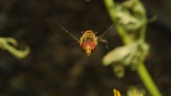 Hoverfly. Photo courtesy