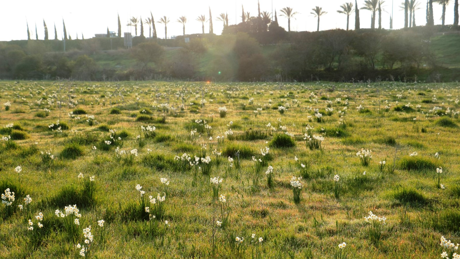 Narcissus flowers carpeting the Kishon River banks. Photo by Olga Vdov/Kishon River Authority