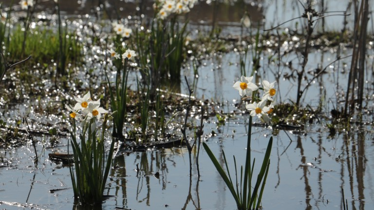 Narcissi are once again blooming in the Kishon River. Photo by Olga Vdov/Kishon River Authority