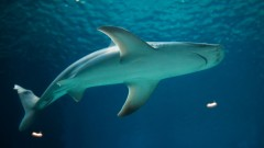 A sandbar shark. Photo via Shutterstock.com