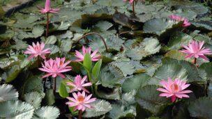 Aquatic flowers. Photo by Ayala Water & Ecology