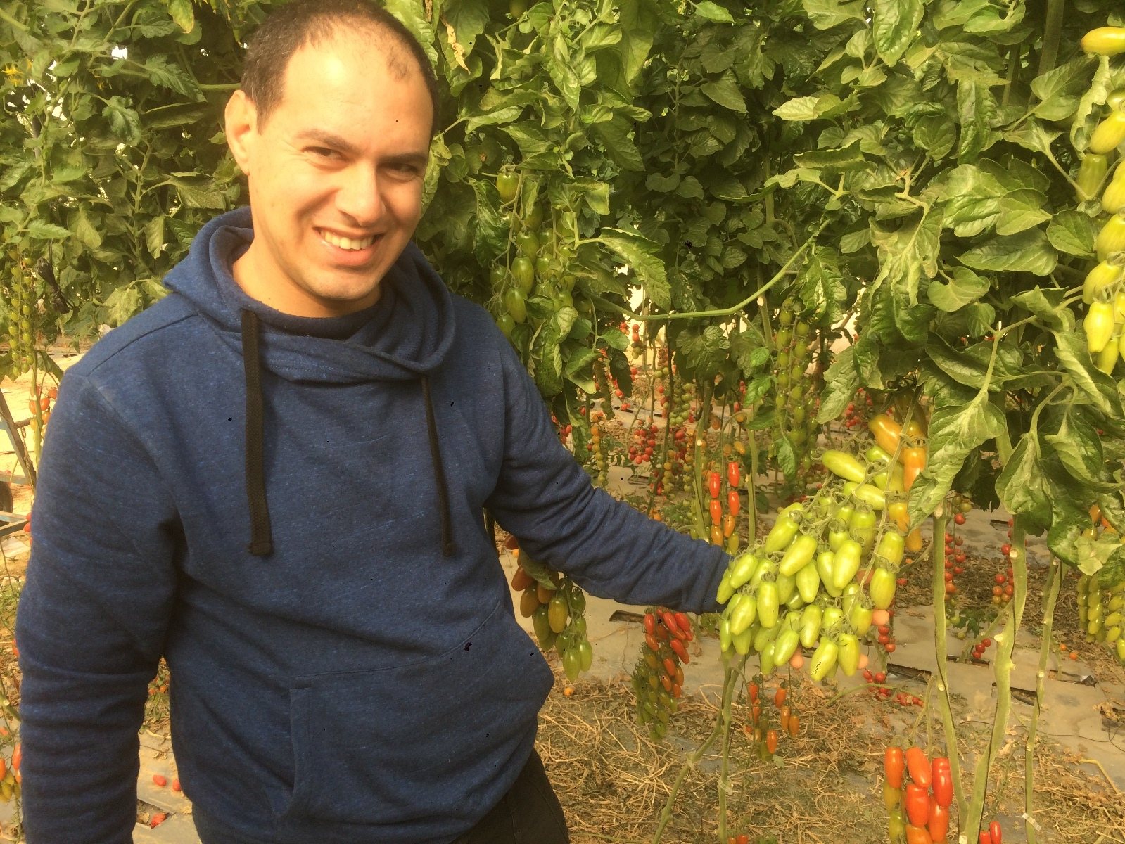 Hebrew University PhD student Itay Zemach holding a tomato cluster of an elongated cherry variety he bred that is rich in flavor, unique in color and shape and has high yield. Photo by Amit Koch