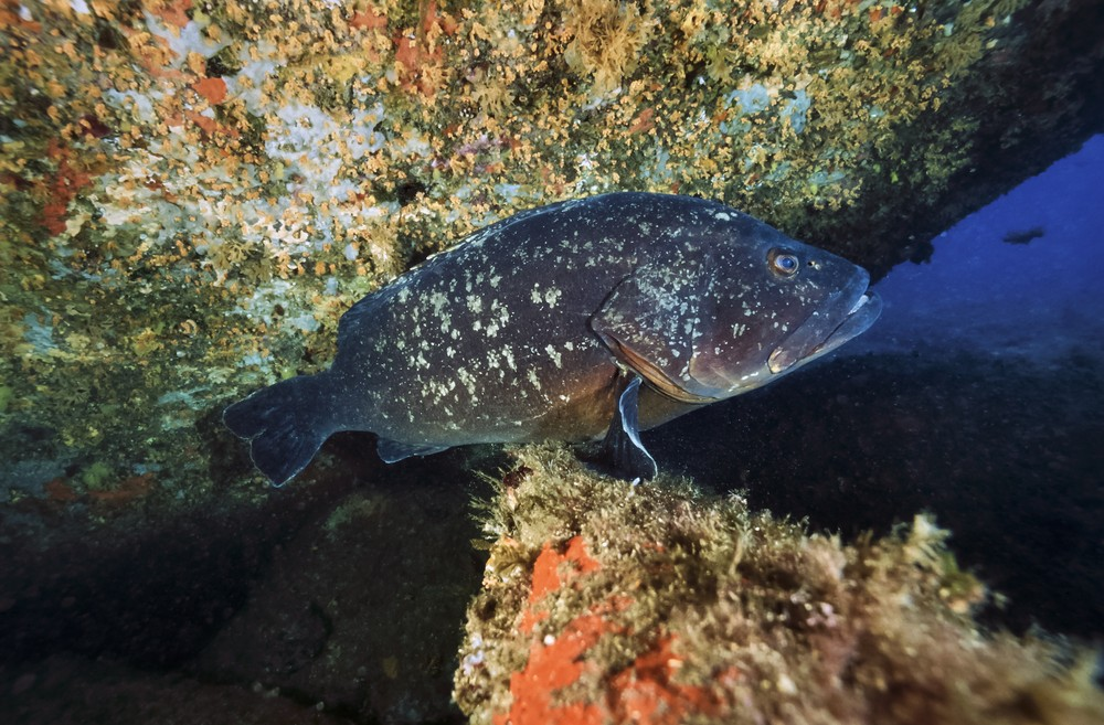 Mediterranean Sea grouper. Photo via Shutterstock